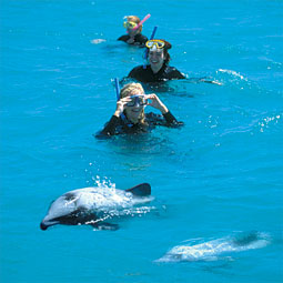 Swimming with Hector Dolphins